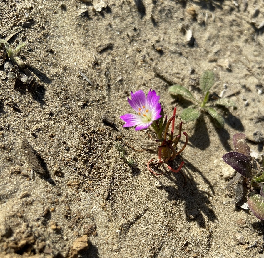 A Calandrinia menziesii in bloom on the NCOS Mesa.